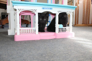 4 all Black kittens to Give Away