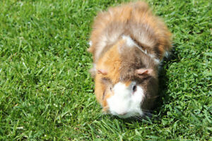 Two Bonded Male Abyssinian Guinea Pigs with Habitat