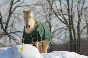 20 yr old Companion 1/2 Q Welsh pony mare