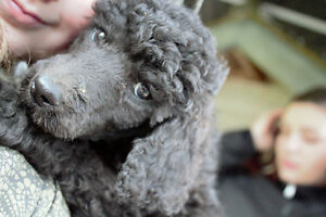 *Price reduced* Standard Poodle Puppy for sale