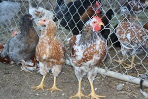 Swedish Flower Hens & Roosters