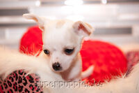 Chihuahua puppies, beautiful and ready to go!!!