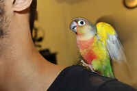 Gorgeous Baby Conures! TAMED with FREE CAGE!