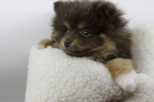 Purebred teacup Pomeranian for rehoming