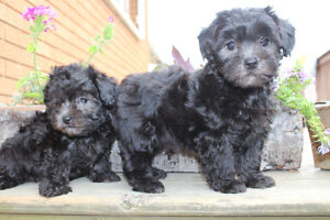MALTIPOO MALE AND FEMALES TEACUP AND SMALL TOY