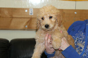 ALL PUPS SOLD GOLDEN DOODLES - CUTE, CUDDLY, AND ADORABLE