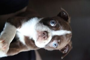3 Red Boston Terrier Puppies for Sale ! 1 Black and white Splash