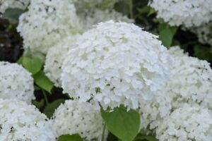 Annabelle Hydrangea, Rose of Sharon, Lily of the Valley, Hostas