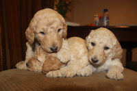 Standard Poodle Puppies- last male eager to sell