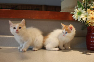 Exotic and Rare Japanese Bobtail Kittens