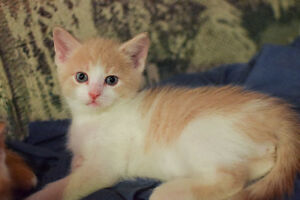 4 Half-Turkish Angora Kittens Ready for New Home