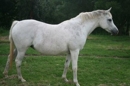 Quality Arabian Mare swap for something of interest Dungog Dungog Area Preview