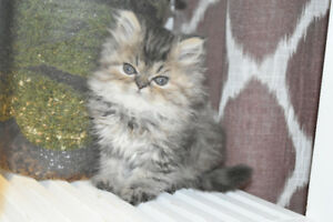 Persian kittens, one female one male