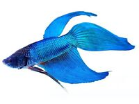 RED AND BLUE SIAMESE FIGHTERS TROPICAL FISH