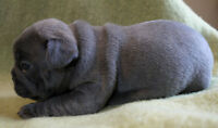 Second pick of the litter available - Three stunning blue males
