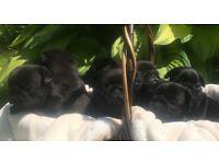 KC registered champion sired black pug pups