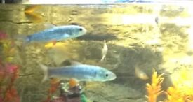 2 X Parrot fish and 2x long barbs for sale