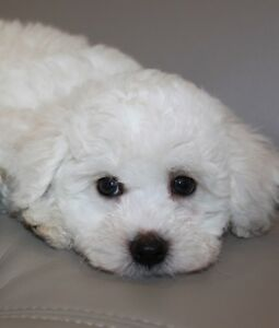 lovely bichon cross poodle puppy