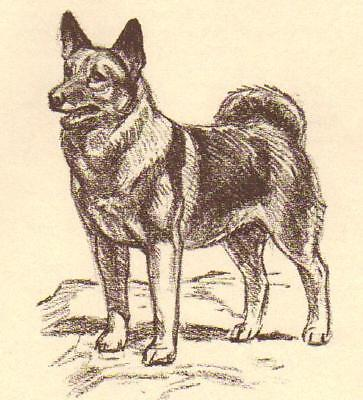 Norwegian Elkhound - Vintage Dog Print - 1954 Megargee