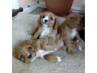 Cavalier King Charles puppies (Ruby) for sale