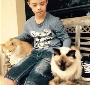 MISSING FROM ATTADALE - SEAL POINT RAGDOLL CAT Attadale Melville Area Preview