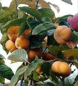GIANT FUYU PERSIMMON JAPANESE FRUIT TREE GRAFTED
