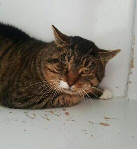 """Adult Male Cat - Domestic Short Hair-Tabby - Brown: """"Grinch"""""""