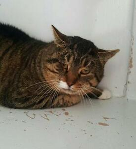 "Adult Male Cat - Domestic Short Hair-Tabby - Brown: ""Grinch"""