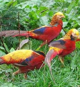Chinese Red Golden Pheasants