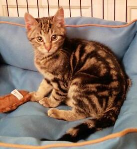 """Baby Male Cat - Domestic Short Hair-Tabby: """"Timmy"""""""