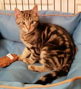 "Baby Male Cat - Domestic Short Hair-Tabby: ""Timmy"""