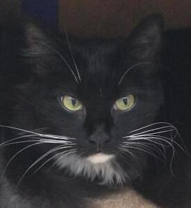 """Young Female Cat - Domestic Medium Hair-black and white: """"Aces"""""""
