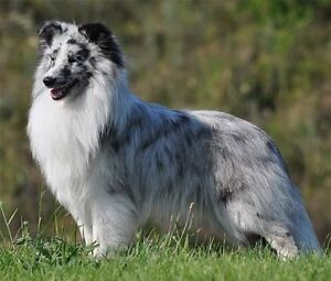 Blue or tri coloured SHELTIE PUPPY WANTED