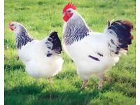 CHEAP FREE RANGE LAYING HENS