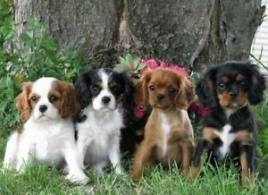 WTB- Male Cavalier or similar smaller pup Risdon Vale Clarence Area Preview