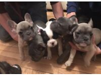 2 x Blue French Bulldog puppies for sale