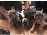 2 x Blue French Bulldog Frenchmen Puppies
