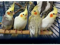 HIGH & STRONG QUALITY Baby Cockatiels [£40/£45/£50 EACH] For Sale + Cages From £30