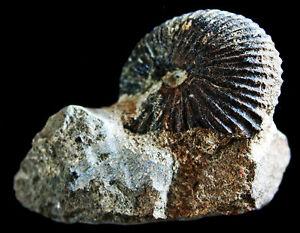Promicroceras planicosta ammonite  For Sale