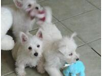 West Highland White Puppies For Sale. Ready Now.