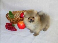 Doll face Pomeranian Puppies 8 weeks old