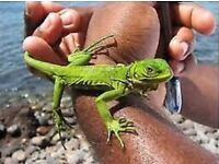 Iguana with viv- delivery