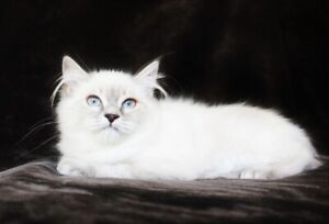 Female Ragdoll Kittens With Blue Eyes