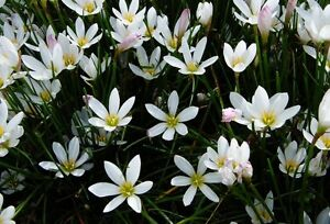 White Rain Lilies Terrigal Gosford Area Preview