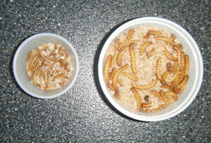 Mealworms 4 Pet and Human Consumption