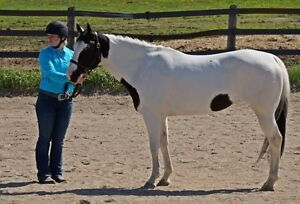 3x Registered Flashy Paint Mare