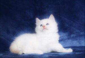 Beautiful Ragdoll Kittens   are ready for Adoption