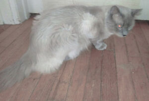 Ragdoll male cat / kitten