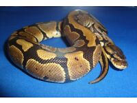 2015 male normal reduced pattern royal python