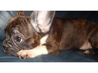 Stunning kc registered french bulldogs